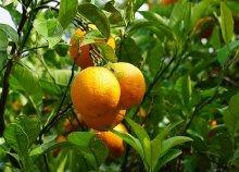 Mandarinszüret a Neretva-folyó vidékén, buszos utazás októberben