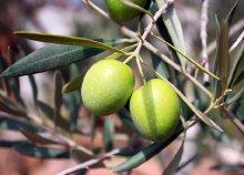 5 napos kirándulás Toszkánában, az olívaszüret idején, buszos utazással, reggelivel, 3*-os szállással