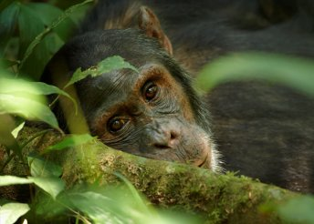 12 nap Ugandában, a hegyi gorillák otthonában, félpanzióval/teljes ellátással